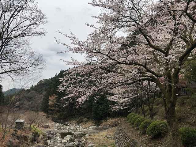 朝の桜4.jpg