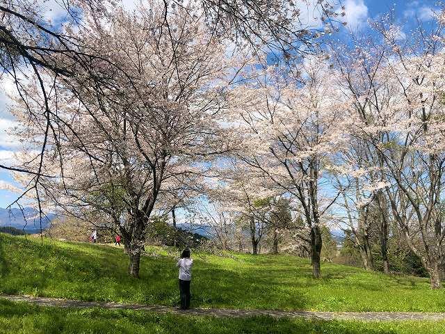 本曲輪13桜3.jpg