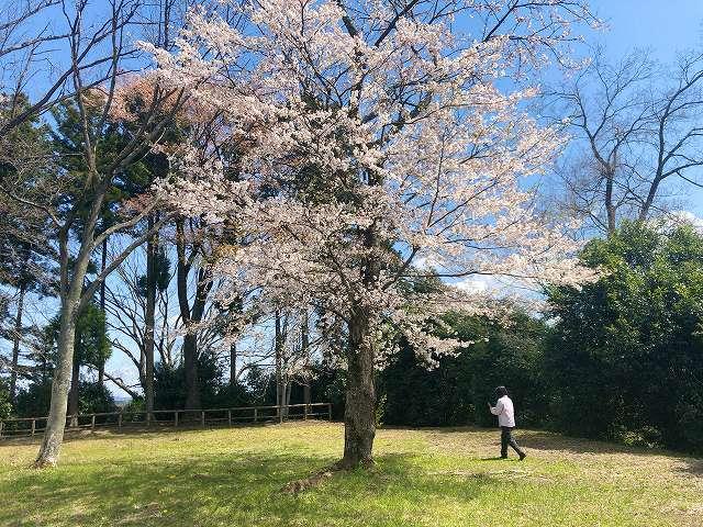本曲輪5桜1.jpg