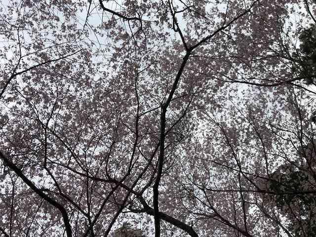桜18.jpg