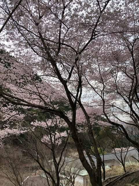 桜19.jpg