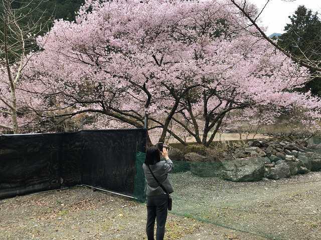 桜とジャン妻3.jpg