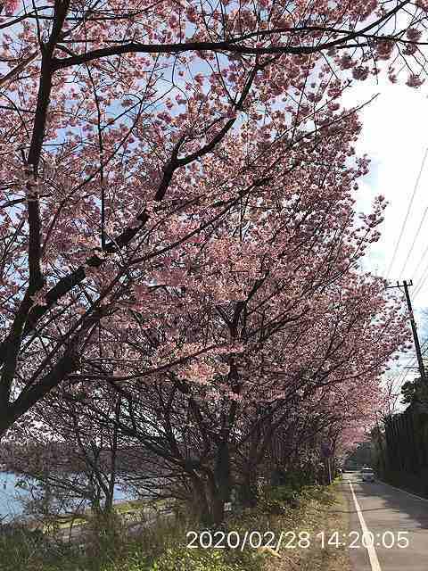 河津桜11.jpg