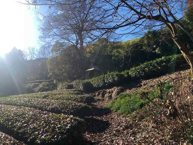 茶畑4御堂へ.jpg