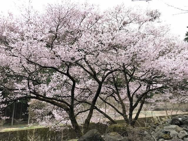 謎の桜11.jpg