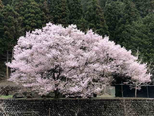 謎の桜2.jpg