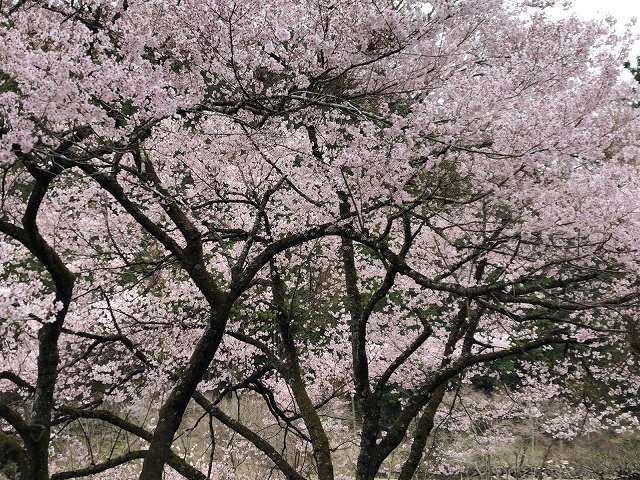 謎の桜4.jpg